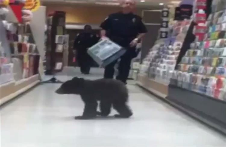 Urso bebé invade supermercado nos EUA [vídeo]