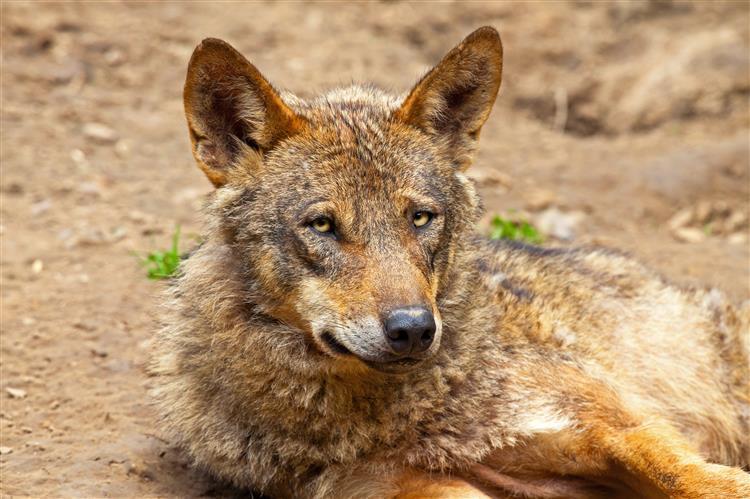 'Guardadores' de lobos
