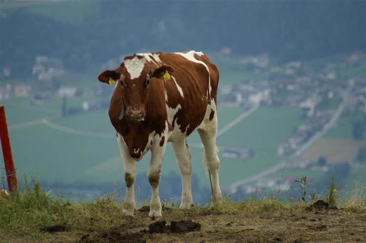 Já há vacas modificadas em laboratório para não terem cornos