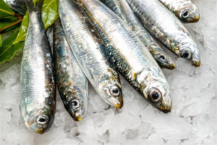 Pesca da sardinha regressa na segunda-feira