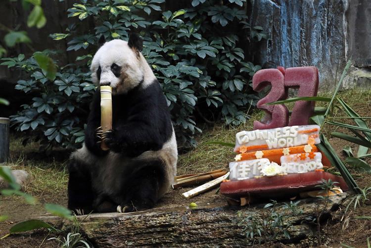 Parabéns Jia Jia, o panda mais velho do mundo