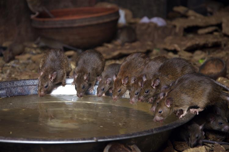 Homem vivia com 300 ratos num apartamento
