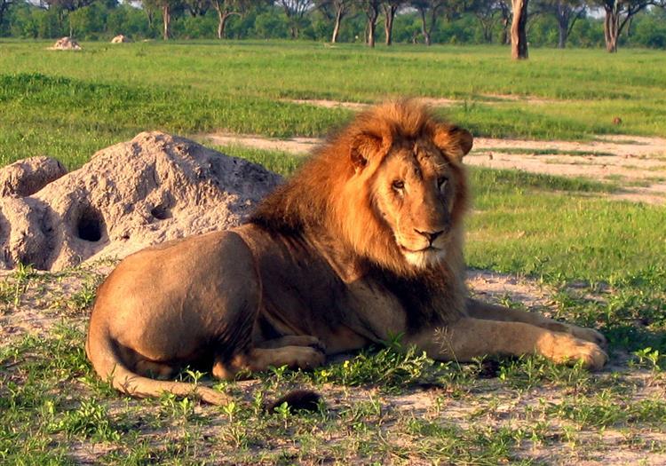 Irmão do leão Cecil também foi morto