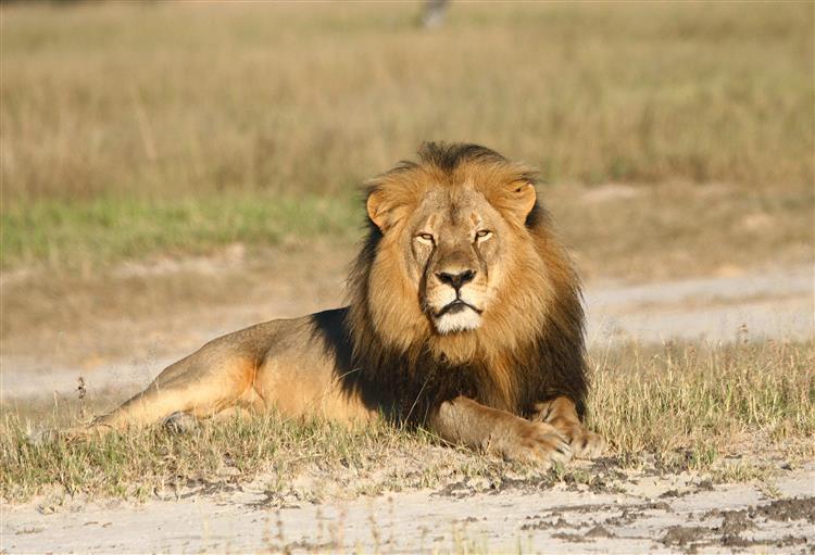 Morte de Cecil. Aviões americanos recusam transportar troféus de caça