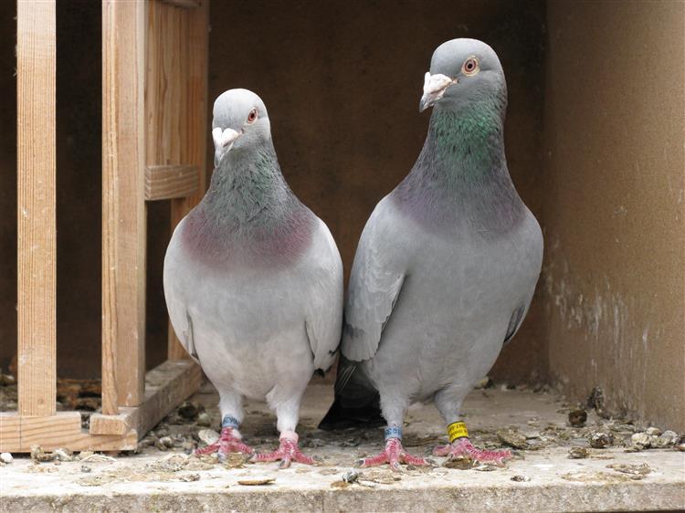 Portugal vai ser 'invadido' por pombos